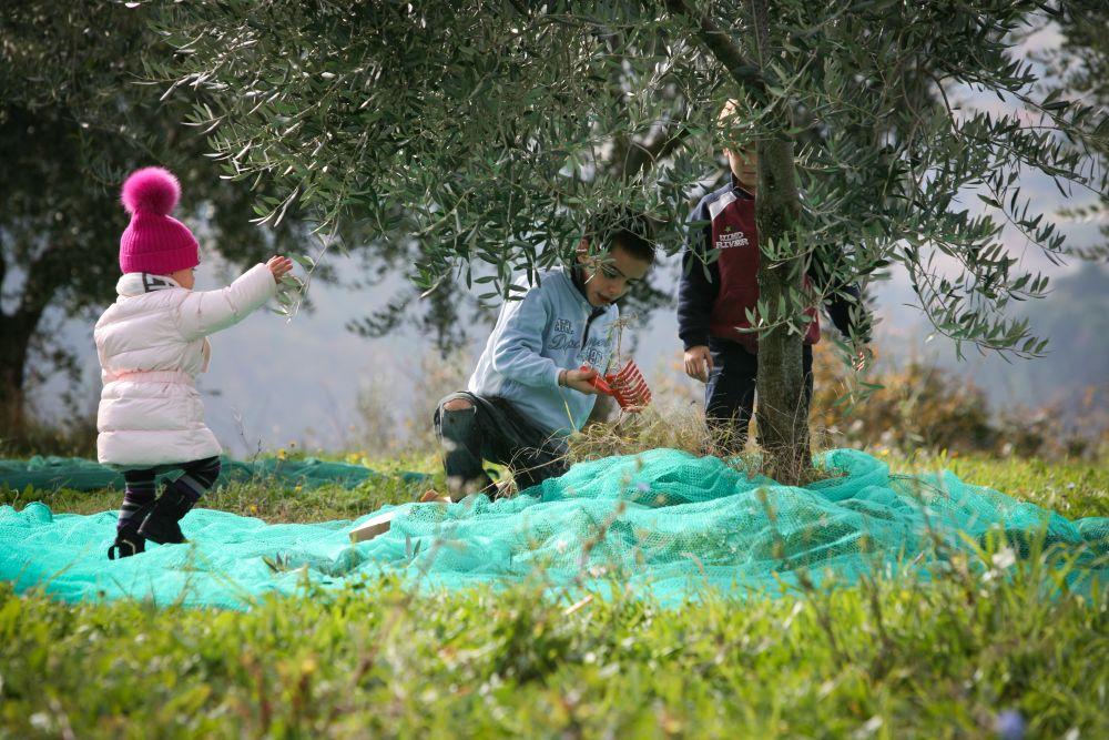Oliven werden per Hand geerntet. Photo: frantoiaperti.net
