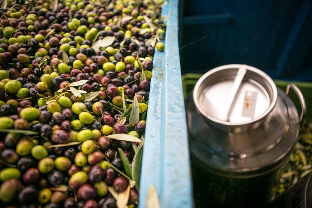 Oliven werden geerntet und kommen jetzt in die Ölmühle. Photo: frantoiaperti.net