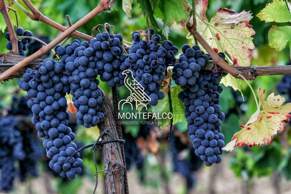 Rebsorte Sagrantino di Montefalco. Photo: www.consorziomontefalco.it